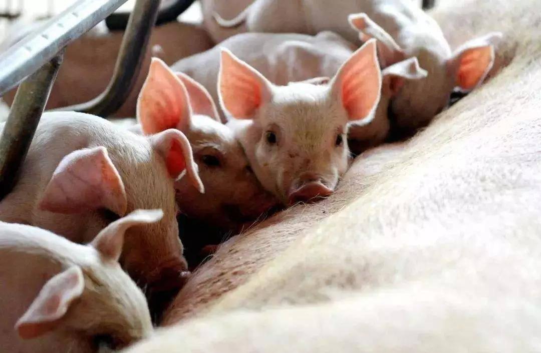 猪肉产量预计下降10%,猪价走势预测全年涨幅或超50%