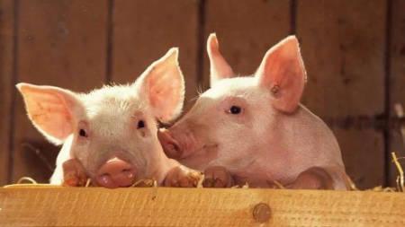 猪丹毒的症状跟非洲猪瘟极相似,养猪人要注意鉴别