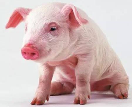 猪口蹄疫症状有哪些? 口蹄疫防控方法很重要!