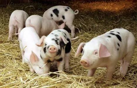 非瘟病毒或致猪料企业减少一半,进军水产料成新出路