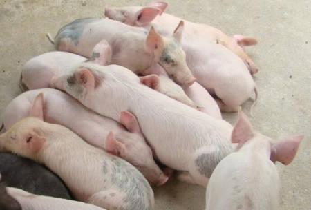 今日仔猪交易情况!