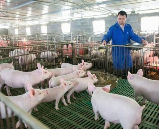 生猪养殖业大变局:龙头企业扩张不止 猪倌变屠夫