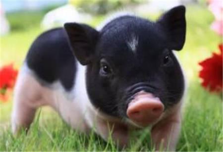断奶仔猪在春季有一种极易发生的细菌性疾病,即 仔猪水肿!