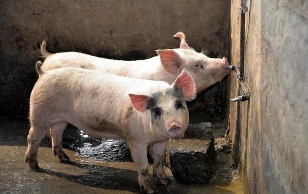 养猪从来不会发生的三件事,今年养猪人都碰上了