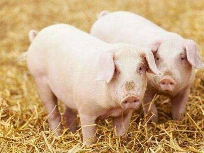 脱贫致富不忘乡亲邻里,养猪达人手把手帮扶养猪户