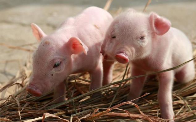 掌握猪的生活习性,乳猪补料容易得多!