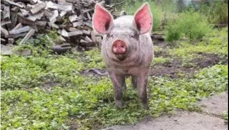 仔猪价逼近千元!猪指数已飙涨84%,猪周期大反弹还有多远