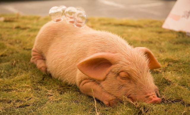 治疗猪高热病不要盲目用药,否则可能直接导致病猪死亡