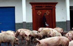 布鲁菌病人与人传染吗,父子俩养猪患布鲁菌病反复发烧一年多