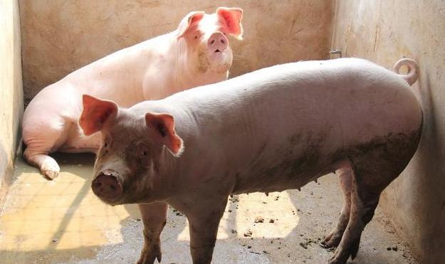 保育猪的饲养管理,做到这两点你也可以提前出栏!