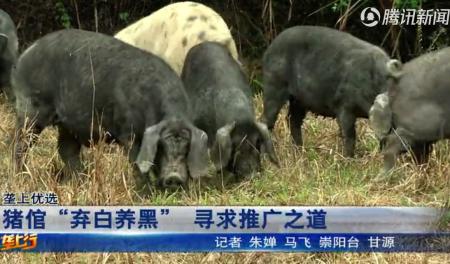 农村大哥养800头黑山猪,每天在500亩山林里狂奔,一年以上才出栏!