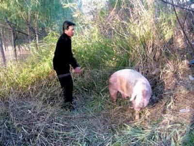 """永州零陵区一运猪货车翻下山坡 消防赶到被困生猪全部""""获救"""""""