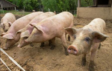 2019年04月10日全国各省生猪价格外三元价格报价表