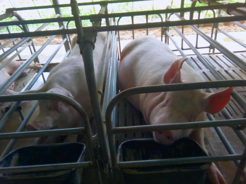 全国生猪存栏最新数据:生猪同比减20%