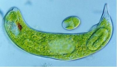 加州大学最新发现:裸藻有减轻仔猪腹泻提升免疫力功效