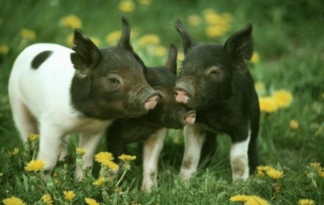 """养猪二字经——""""养""""和""""防""""提高经济效益"""