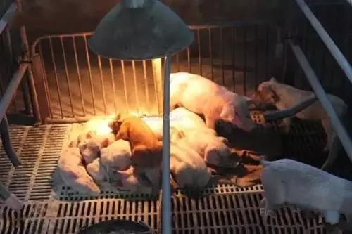 春季仔猪出现零星腹泻,关注环境温度3个细节轻松搞定