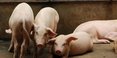 南阳市2018年猪肉市场出现的疫情影响