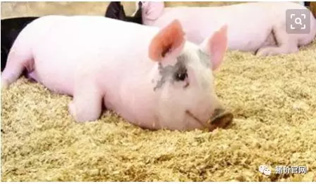 你了解猪的生活特性? 养猪人知道这些养猪如虎添翼