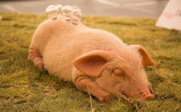 治疗猪高热病不要盲目用药 用错药可能适得其反致其死亡