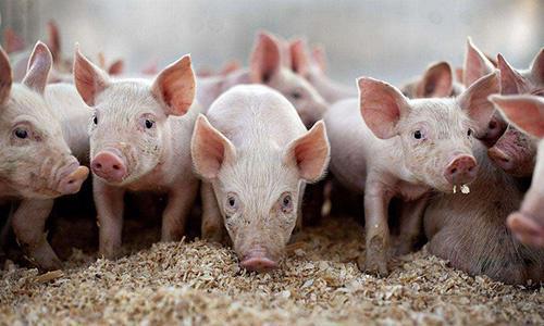 温氏企业生猪出栏破2000万头,但大规模养殖在国内仍不是主流