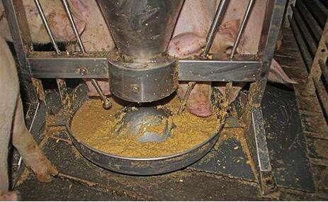 干粉料、湿拌料还是颗粒料 该怎么给猪喂料?