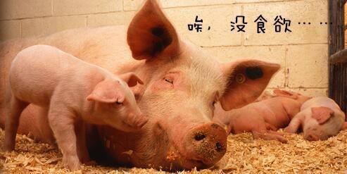 母猪体温过低的三大内因及实用解决方案!