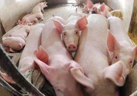 猪食欲不振并不只因猪病,造成猪群食量突然大幅度下降的三大原因