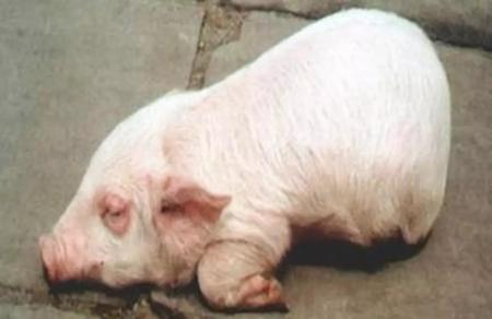 2019年4月12日仔猪价格:15公斤仔猪价格行情走势