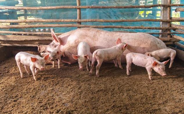 探究猪猪场弱仔产生的原因及防控策略,详解猪场弱仔判断标准