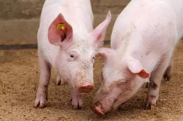 存栏下降,猪价或创历史新高,专家:三大措施预防猪肉大涨