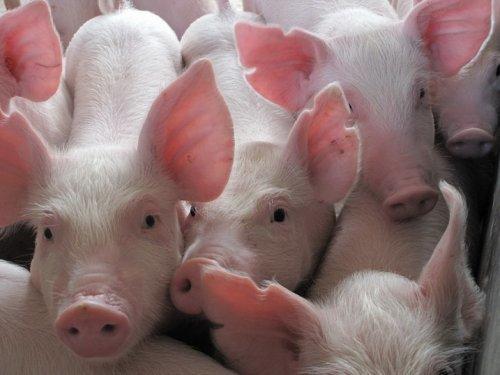 2019年04月13日全国各省生猪价格内三元价格报价表