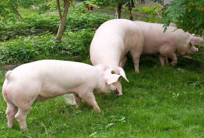 2019年04月13日全国各省生猪价格外三元价格报价表