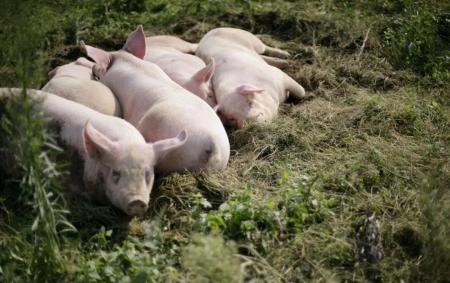 2019年04月14日全国各省生猪价格外三元价格报价表