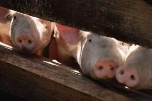 湖北严控非洲猪瘟疫情,从正规售卖点购买的猪肉都可放心食用