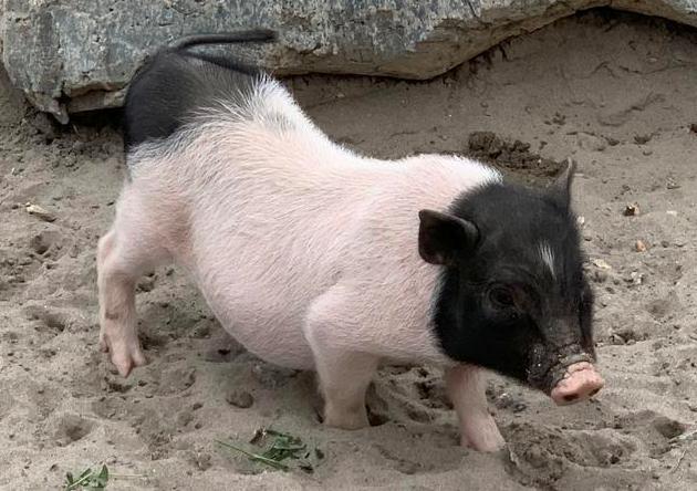 浅析炎症产生的原因及对养猪生产的影响