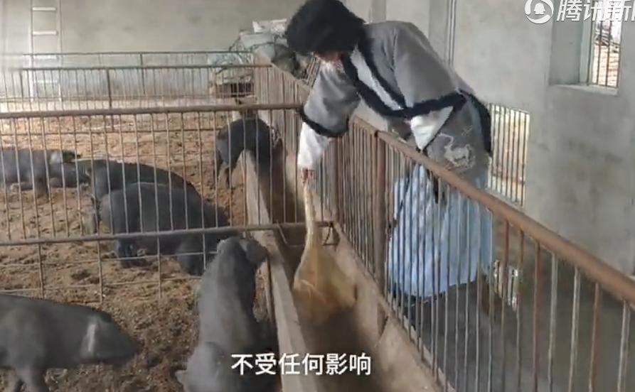 80后小伙穿汉服养猪:汉服是爱好,养猪是事业,两者不影响