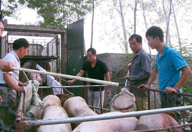 非洲猪瘟疫情影响下,猪经纪人的购猪、运猪方式悄然改变