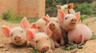 高度不确定的猪业现状下,挖掘猪场共性需求是突破契机