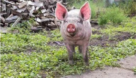 消费世界49%的猪肉,中国将掀起世界肉类市场上的革命
