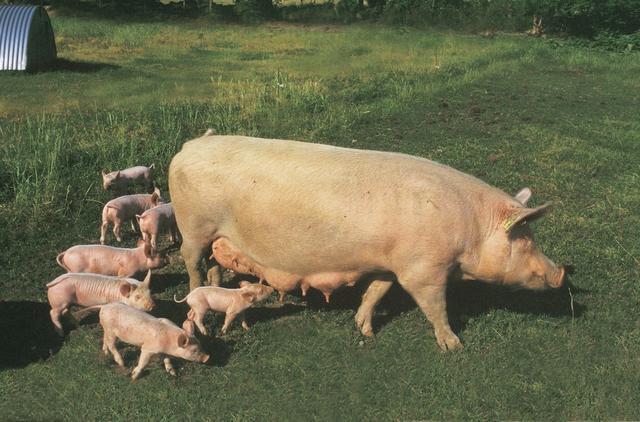 养猪提前做准备,高温季节,能拯救你的母猪?