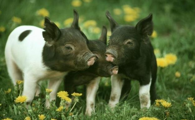 黄芩的妙用,以及在养猪中的应用和科学种植管理技术