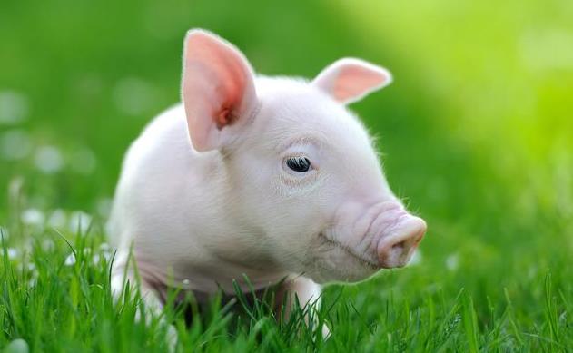 饲养过程中,猪营养缺乏症和营养过剩症的防治要点