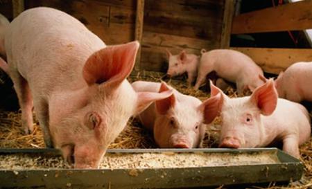 投资50亿美元!俄农企集团将在青岛建设生猪养殖和饲料加工项目