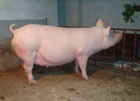 你知道母猪二胎综合征的秘密所在?