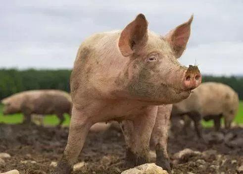 相比大豆,中国的猪才是更大的问题