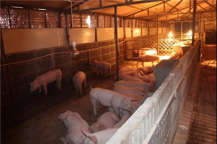 猪场的猪老发病,养猪人你可能需要注意这几个方面了
