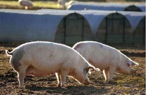 一季度辽宁生猪报告,产能下降生产恢复缓慢