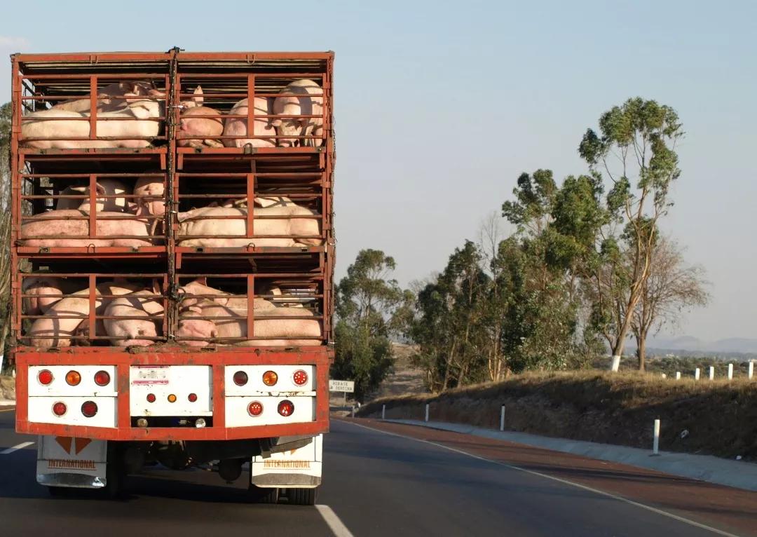 """产能锐减 预计5-7月生猪供应缺口大""""南猪北养西进""""格局也开始受到挑战"""