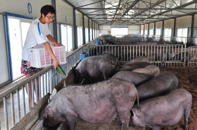 剩菜剩饭泔水养猪为什么被禁止?专家:专业饲料喂猪可防猪瘟